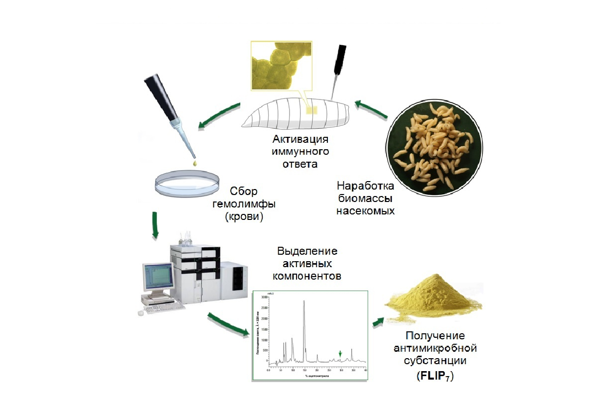 Мясные мухи помогли петербургским учёным разработать новый антибиотик